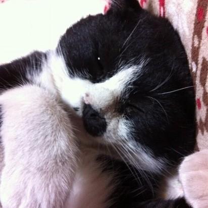 ハチトラ猫昼寝