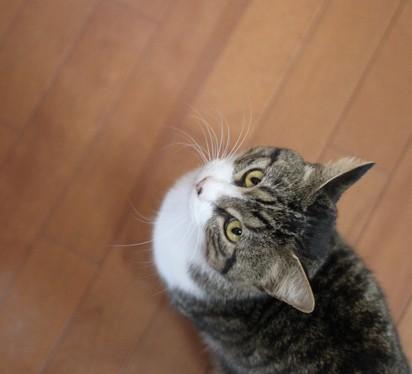 サバトラ白猫フローリング