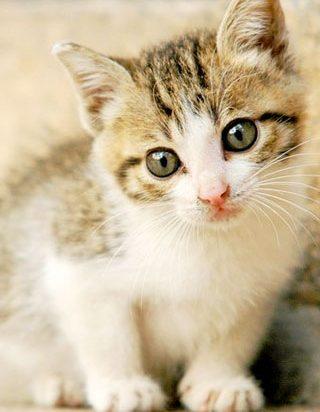 キジトラ猫子猫