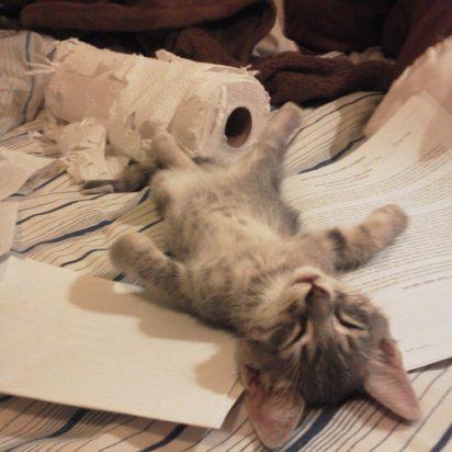 サバトラ猫子猫いたずら