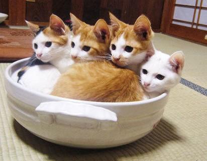 茶トラ白猫白猫鍋