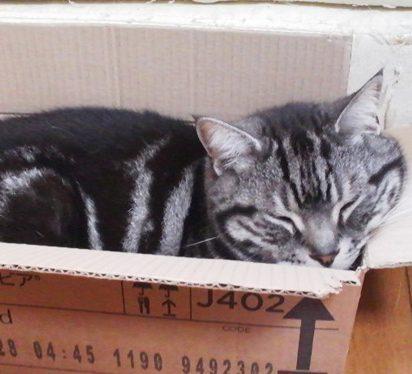 サバトラ猫ダンボール