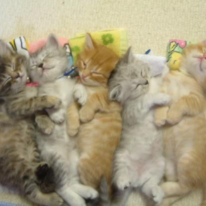 サバトラ猫茶トラ猫茶トラ白猫子猫睡眠