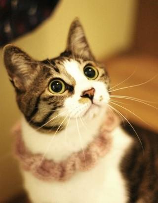 キジトラ猫毛糸の首輪