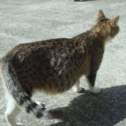 キジトラ白猫道路