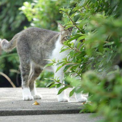 サバトラ白猫