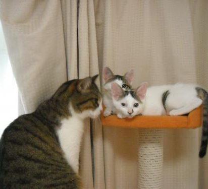 キジトラ猫とび三毛猫キャットタワー